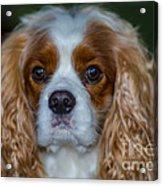 King Charles Acrylic Print