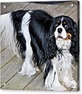 King Charles On The Boardwalk Acrylic Print
