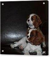 King Charles Puppies Acrylic Print