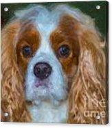 King Charles Spaniel Acrylic Print