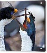 King Cormorants Acrylic Print