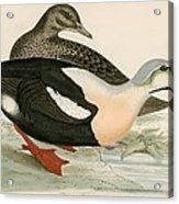 King Duck Acrylic Print