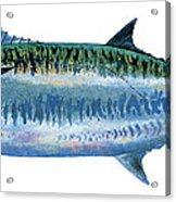 King Mackerel Acrylic Print by Carey Chen