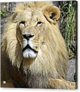 King Of Beasts Acrylic Print