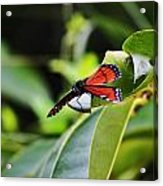 King Of The Butterflies Acrylic Print