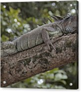 King Of The Rain Forest Acrylic Print