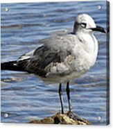 King Of The Rock Seagull Acrylic Print