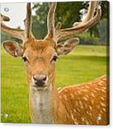 King Of The Spotted Deers Acrylic Print