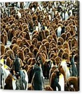 King Penguin Colony Acrylic Print