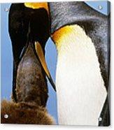 King Penguin Feeding Chick Acrylic Print by Art Wolfe