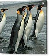 King Penguins Coming Ashore Acrylic Print