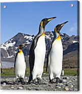 King Penguins St Andrews Bay South Acrylic Print