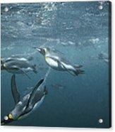 King Penguins Swimming Macquarie Isl Acrylic Print