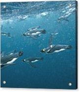 King Penguins Swimming Underwater Acrylic Print