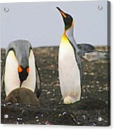 King Penguins With Chick And Egg Acrylic Print