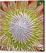 King Protea Flower Macro Acrylic Print