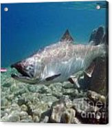 King Salmon And Dardevle Acrylic Print