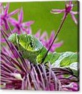 King Swallowtail Caterpillar Acrylic Print