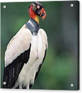 King Vulture In Breeding Colors Acrylic Print