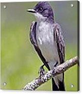 Kingbird Acrylic Print