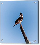 Kingfisher On Dead Tree Acrylic Print