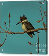 Kingfisher On Limb Acrylic Print