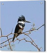 Kingfisher On Mesquite Tree Acrylic Print