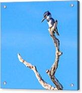 Kingfisher Perch Acrylic Print