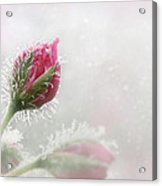 Kissed With Dew Acrylic Print