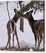 Kissing Deer Acrylic Print