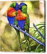 Kissing Rainbow Lorikeets 8 Acrylic Print by Heng Tan