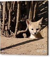 Kit Fox Pup Acrylic Print