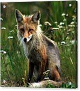 Kit Red Fox Acrylic Print