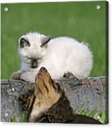 Kitten And Puppy Playing Acrylic Print