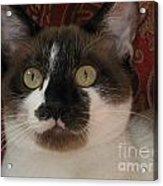 Kitten Black On Chocolate Silktapestrycatstm Acrylic Print
