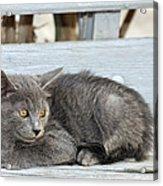Kitten In Hydra Island Acrylic Print