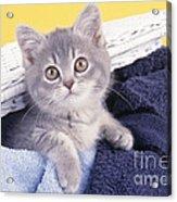 Kitten In Laundry Acrylic Print