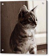 Kitten In The Light Acrylic Print