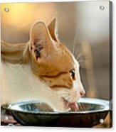 Kitten Licking Up Her Milk Acrylic Print