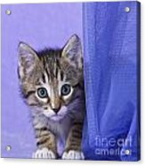 Kitten With A Curtain Acrylic Print