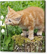 Kitten With Flowers Acrylic Print
