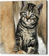 Kitten With Golden Retriever Acrylic Print
