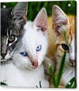 Kittens In The Cradle Acrylic Print