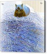 Kitty Blue IIi Acrylic Print
