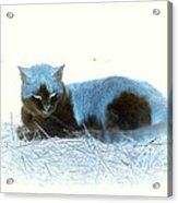 Kitty Blue IIII Acrylic Print