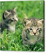 Kitty In Grass Acrylic Print