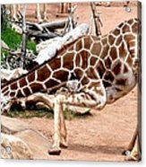 Kneeling Giraffe Acrylic Print