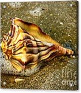 Knobbed Whelk 9 Botany Bay Acrylic Print
