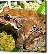 Knudsen Thin Toed Frog Acrylic Print