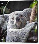 Koala Bear Acrylic Print by Tom Mc Nemar